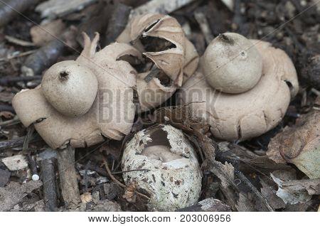 Fringed earthstar (Geastrum fimbriatum) mushroom close up shot