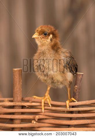 Cute newborn chicken on the wattle fence over wooden background