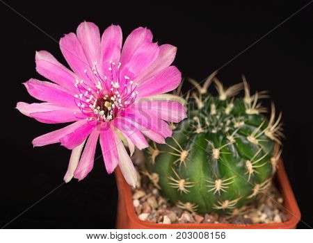 Bright pink cactus flower in the flowerpot over black background