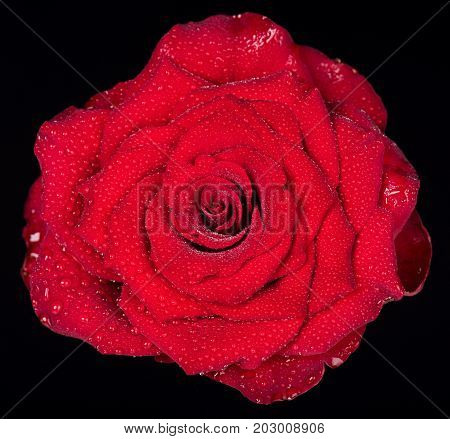 Fresh red rose with drops of water over black background