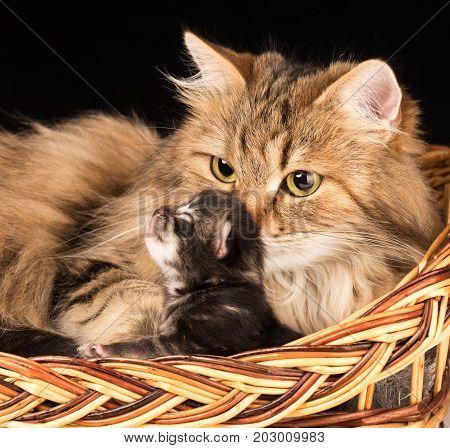 Lovely siberian cat with asleep little kitten in the wicker basket close-up