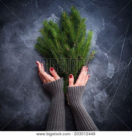 Female Hands Woolen Sweater Holding Christmas Fir