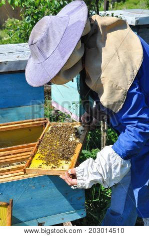 Beekeeper is working with bees and beehives on the apiary. Honeycomb with bees in hands of beekeeper