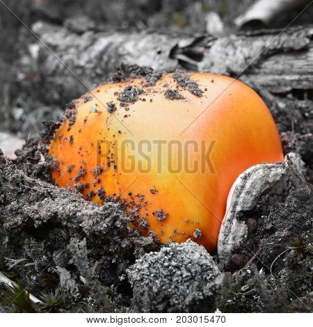 caesar's mushroom bulb emerging from the ground amanita caesarea