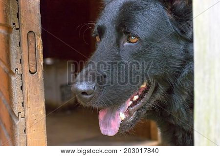 Caucasian Shepherd Dog peeps out of the barn. Space under the text. 2018 year of the dog in the eastern calendar Concept: parodist dogs, dog friend of man, true friends, rescuers.