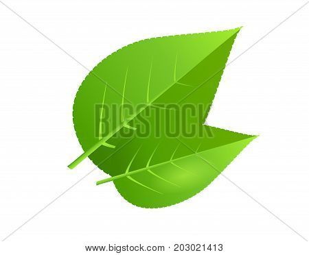 Two green leaves vector icon isolated on white background. Teardrop shape tree leaf illustration. Floral element for ecological, environment and organic concepts design.