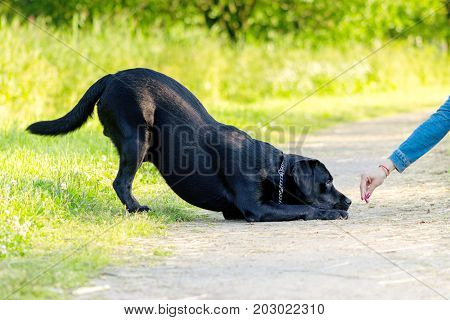 Black labrador retriever execute the command reverence on pathway poster