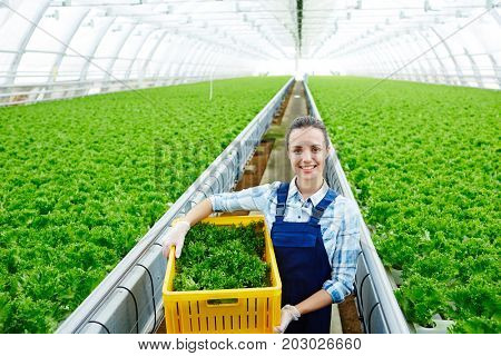 Pretty young farmer in uniform carrying box with fresh lettuce for sale on marketplace