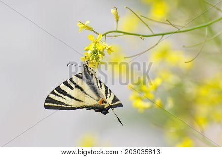 Iphiclides podalirius, Scarce swallowtail butterfly on wildflowers. Butterfly collecting nectar on flowers in the meadow.