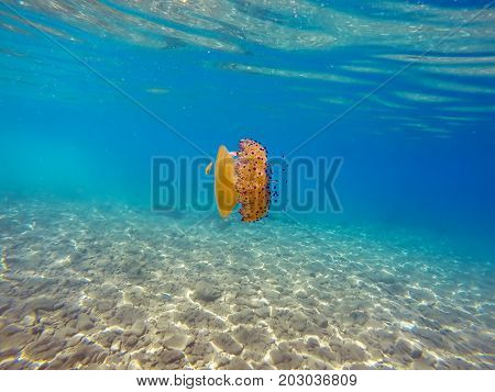 Jellyfish Swimming in the Shallow Water.  Colorful jellyfish in the Aegean sea.