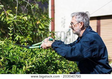 Gardener  Trimming Hedgerow With Gardening Scissors