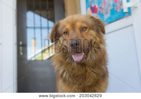 Portrait of cross-breed of German and Caucasian Shepherd Dog standing against shop entry