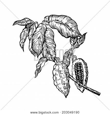 Cocoa beans branch black and white illustration. Engraved style illustration. Chocolate cocoa beans. Vector illustration isolated in white background