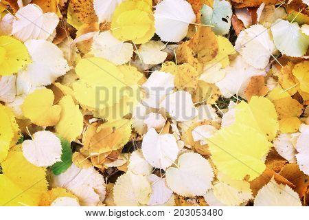 Alder tree fall fresh leaves change background, retro toned