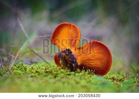 toxic omphalotus olearius mushroom in the forest