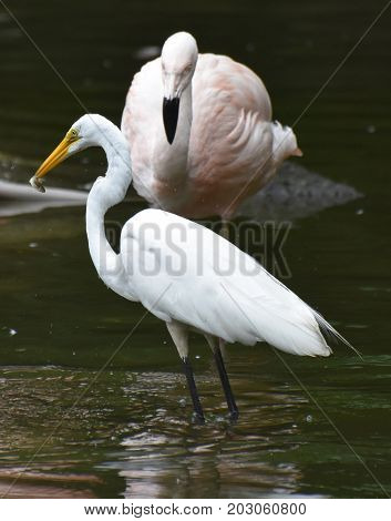 White Heron Having Lunch in a Pond