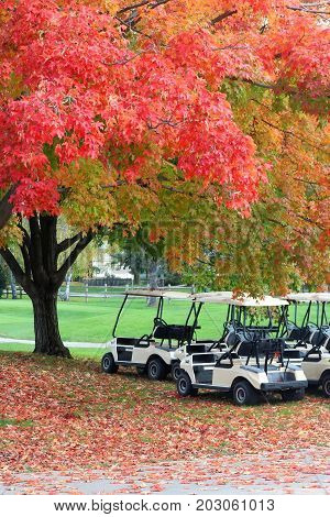 Nature background in autumn colors. Beautiful fall landscape with red colored maple tree close up in sunlight on a golf course golf carts and red foliage on a ground. Midwest USA Wisconsin. Vertical composition.