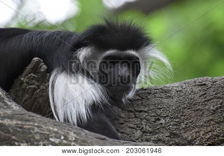 Colobus monkeys are also known as mantled guerezas.