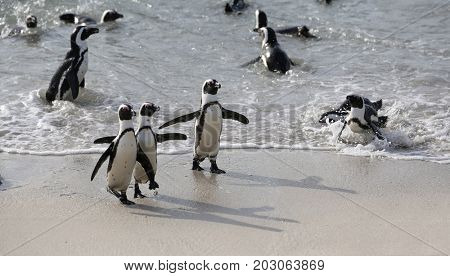 funny penguins on a beach in south africa.