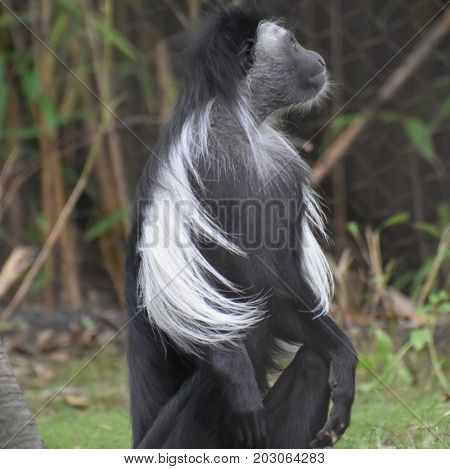 Cute black and white colobus monkey sitting up.