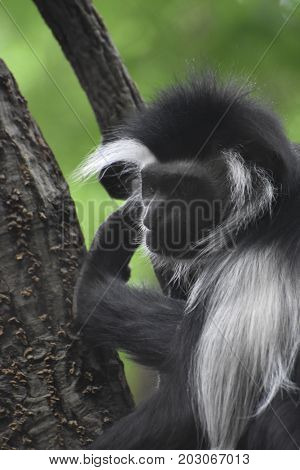 Colobus monkey with long black and white fur.