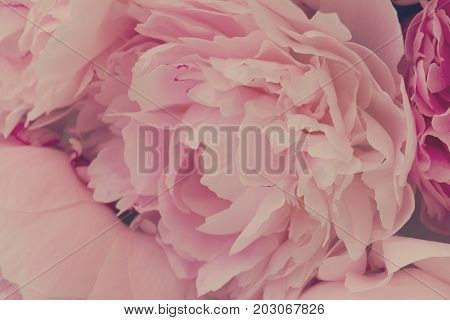 Pink floral macro background of fresh pink peony flowers, retro toned