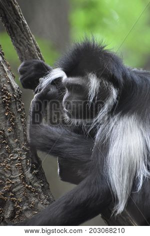 Black and white colobus monkey with long fur down his back.