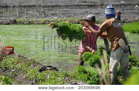 DAVAO ORIENTAL, PHILIPPINES--Ricefield workers pulling the rice seedlings through the muddy fields ready for planting in Banay-banay, Davao Oriental, southern Philippines. Photo taken in March 2016.
