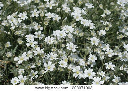 Closeup Of White Star-like Flowers Of Cerastium Tomentosum