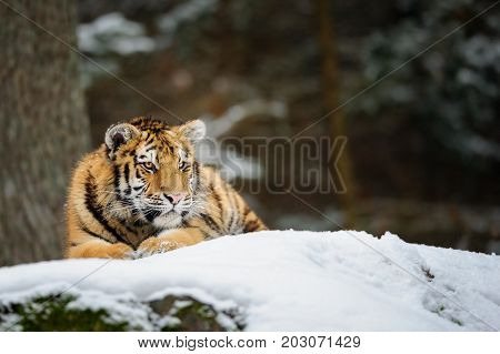 Amur tiger lying on snow in the forest