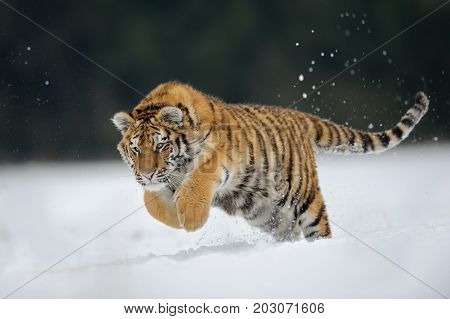 Hunting amur tiger jumping on snow in wilderness