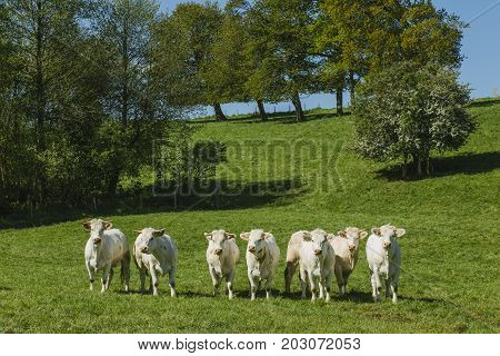 Cows grazing on grassy green field on a bright sunny day. Normandy France. Cattle breeding and industrial agriculture concept. Summer countriside landscape and pastureland for domesticated livestock