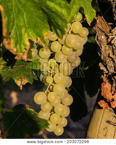 Bunch of Golden grapes hanging on vine stock at wine yard, plantation in Spain