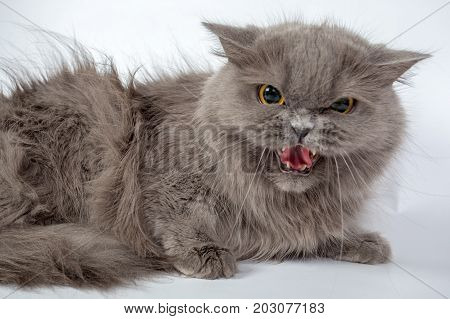 Angry, Hissing Gray Persian Cat Isolated On White Background