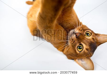 Abyssinian Cat Plays Isolated On A White Background Studio Photo