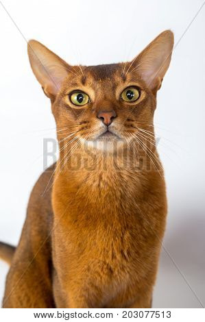 Abyssinian Cat Isolated On A White Background Studio Photo
