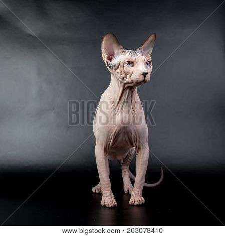 Bald Hairless Sphinx Cat Isolated On A Black Background, Studio Photo