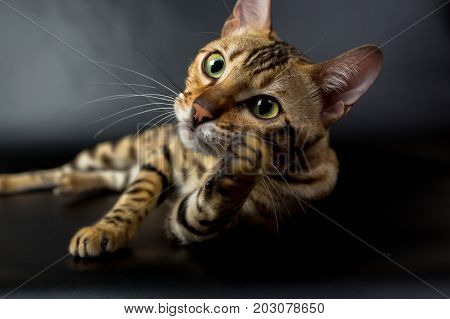 Bengal Cat, Play With Toy, On A Black Background In The Studio, Isolated, Bright Spotted Cat