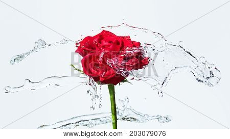 One red rose with water splash and drops on a white background. Selected focus narrow depth of field