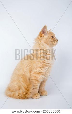 British Longhair Cat, Kittens, Red, Isolated, Photo Studio