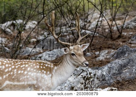 Spotted deer, male (Axis axis) in the natural habitat (Macedonia, northwest Greece)
