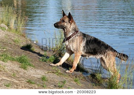 German shepherd. poster