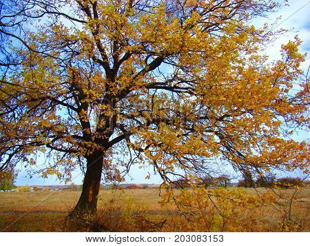 Old oak tree with a crown of gold like autumn fire.