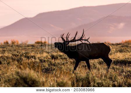 a bull elk during the fall rut in Wyoming