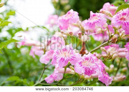 Beautiful pink and blue Tabebuia Rosea flowers close up.