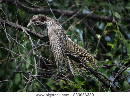 Koel common bird female resting on a tree branch in forest