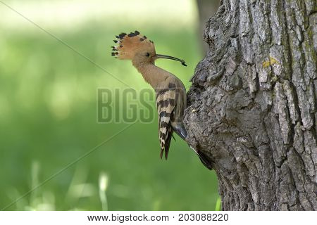 Nice Bird With Crest Hoopoe (upupa Epops)