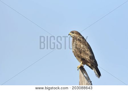 Rough-legged Buzzard (buteo Lagopus) Sitting On A Pole, Searching For Food.