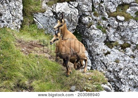 Chamois ( Rupicapra Rupicapra) In Natural Habitat