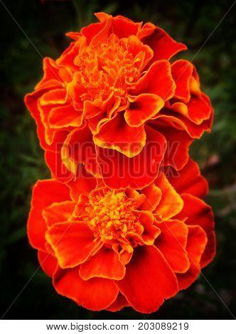 dos hermosas flores de precioso color naranja